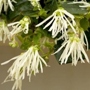 JAZZ HANDS™ DWARF WHITE LOROPETALUM Loropetalum chinensis 'Hakuou'