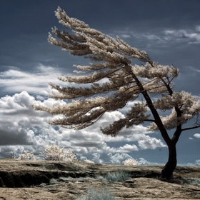 windswept tree and blue sky with clouds