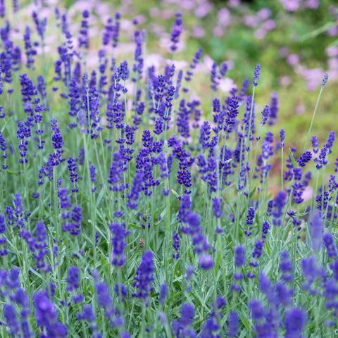 Lavendel richtig schneiden & pflegen