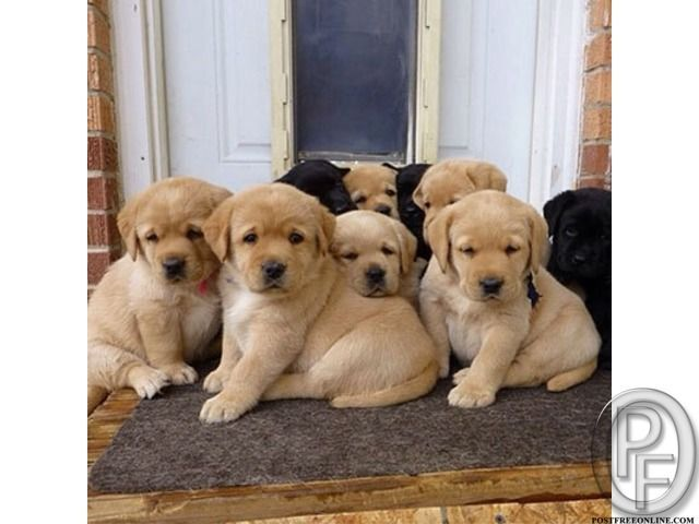 Want To Buy Labrador Dog Get It From Pet Destination In Mumbai