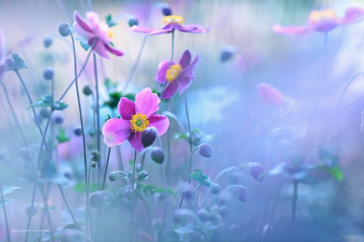 Zawilce Japońskie, Kwiaty, Fioletowe