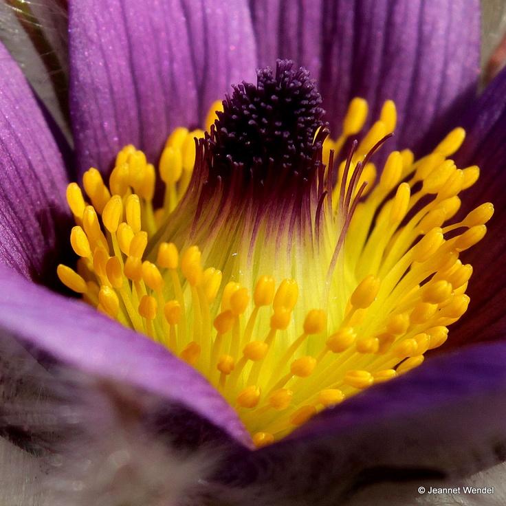 Het eerste bloemetje van het Wildemanskruid
