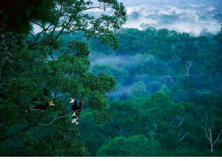 Rhinoceros hornbills (Buceros rhinoceros) perched high in the canopy of lowland rain forest, GUNUNG PALUNG, Kalimantan.