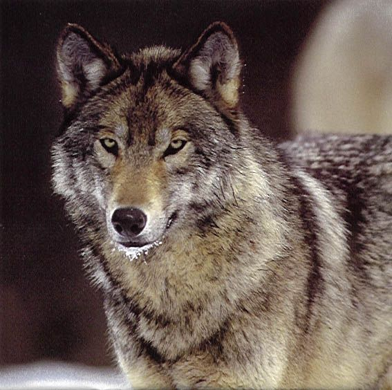 #Wolf: Amazing, Wolves Pictures, Animals Pets, Beautiful Animals, Wolf Photos, Wolf Pictures, Lone Wolf, Wolves Photos, Wolf Reader