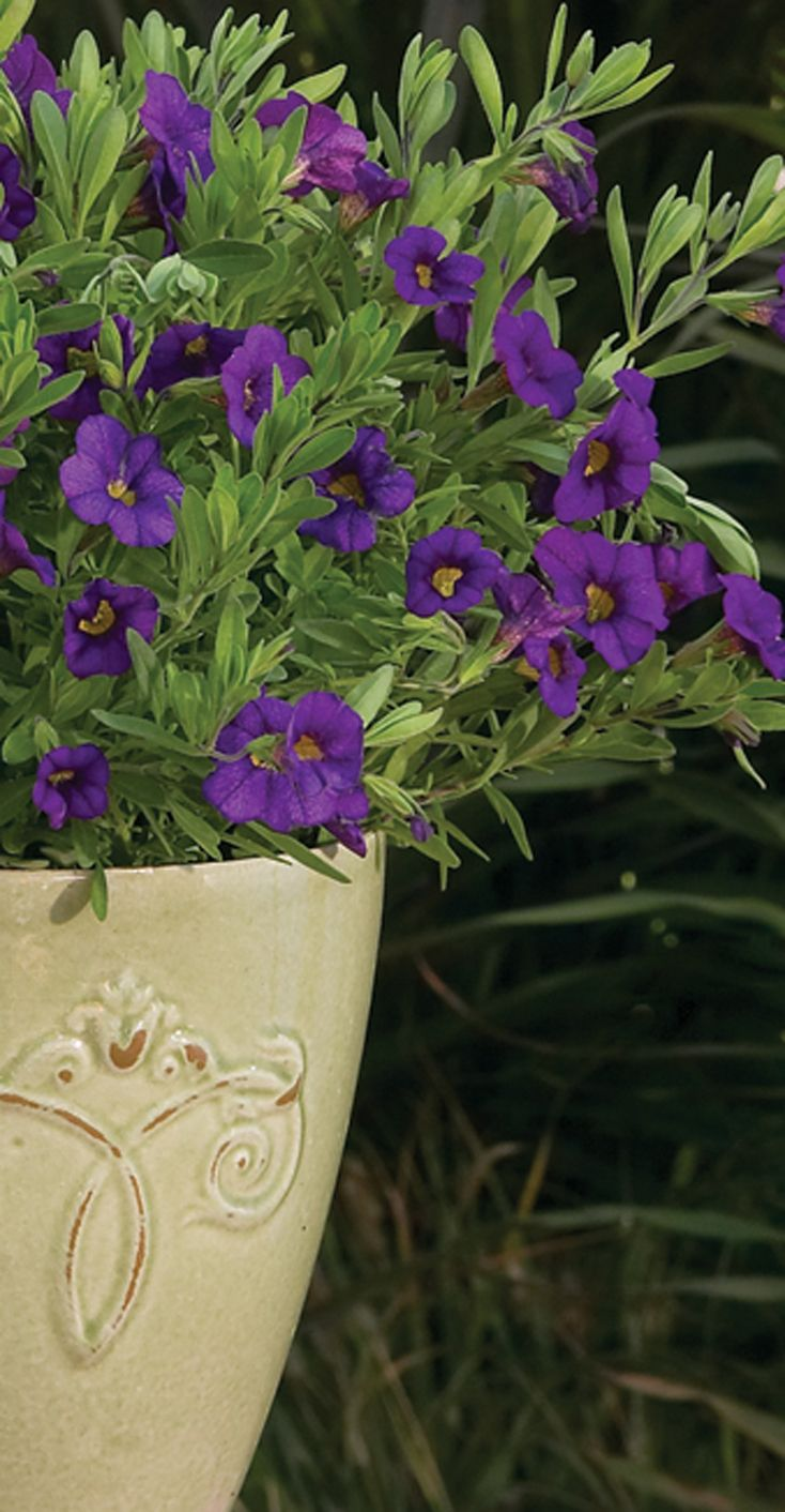 Superbells Blue calibrachoa offers a petite bloom with a bright yellow center. Use in full to part sun containers and hanging baskets.