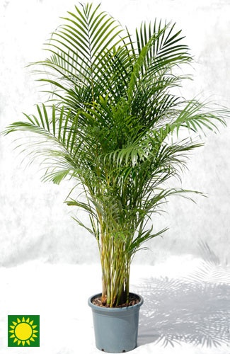 1000 images about cat friendly plants on pinterest cats for Areca palm safe for cats