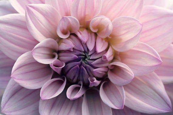 Pink And Purple Dahlia Flower Macro Photography Digital Etsy In 2020 Macro Photography Flowers Purple Dahlia Dahlia Flower