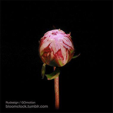 картинка анимация распускается цветок пиона этом разделе можете
