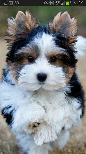 Biewer Yorkie ♥--I want him!