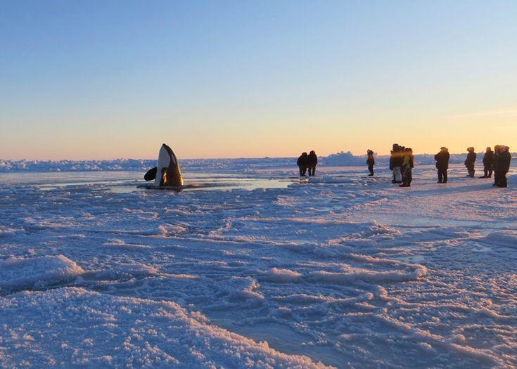 Un'orca emerge da un varco nel ghiaccio che ricopre la baia di Hudson, nel nord del Québec, Canada, l'8 gennaio.