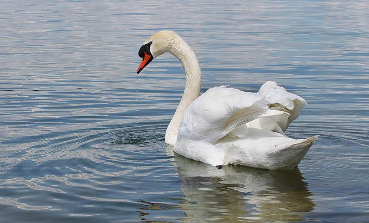Beautiful Swans | Decoration, Home Goods, Jewelry Design