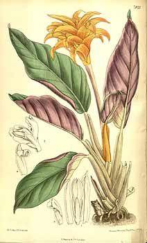 6527 Calathea crocata E.Morren & Joriss. / Curtis's Botanical Magazine, vol. 128 [ser. 3, vol. 58]: t. 7820 (1902) [M. Smith]