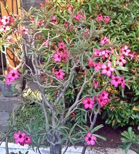 Gambar Bunga Adenium Merah Muda Di Halaman Rumah | Gambar Bunga