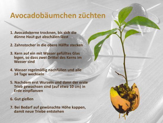 avocadokern einpflanzen google suche pflanzen pinterest suche google und pflanzen. Black Bedroom Furniture Sets. Home Design Ideas