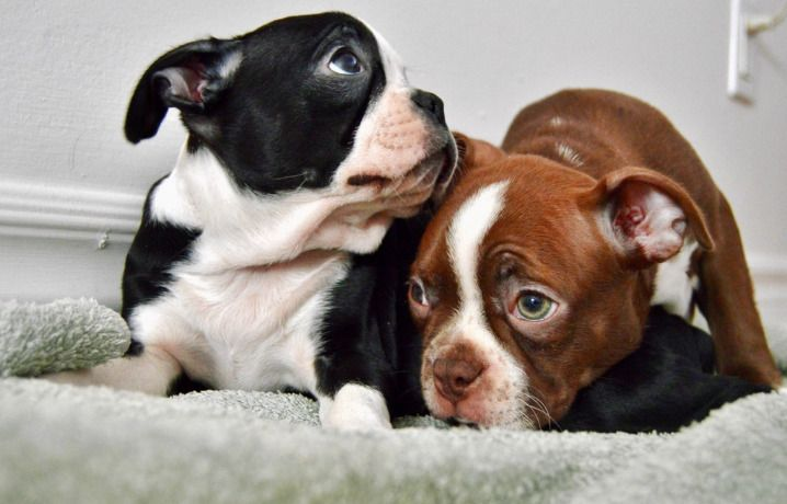 Boston Terrier Puppies Dogs Puppies For Rehoming City Of