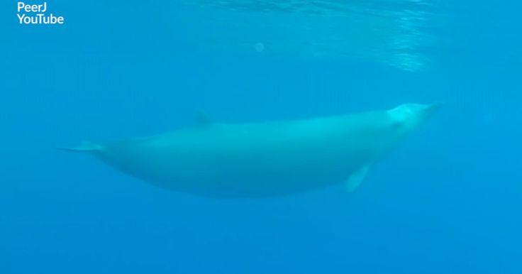 La baleine à bec de True est une grande discrète des océans.