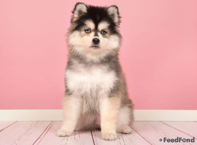 Pomsky Pomeranian Husky Mix Dog Breed Guide For 2020 Pomsky Puppies Dog Breeds Pomsky