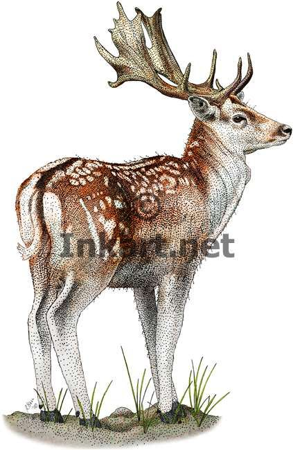 Full color illustration of a Fallow Deer (Dama dama)
