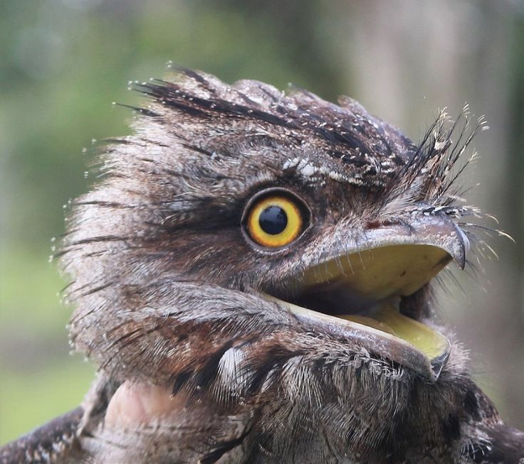An injured Tawny Frogmouth is expected to make a full recovery. #Eungella #birds
