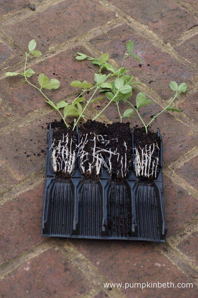 The ridged Rootrainers cells direct the plants' roots to grow vertically towards the drainage hole. Rootrainers are easy to assemble, they open out like a book, allowing you to monitor how your plants' roots are developing whenever it's convenient. I grew all of the Sweet Pea plants for my 2016 Sweet Pea Trial in Deep Rootrainers.