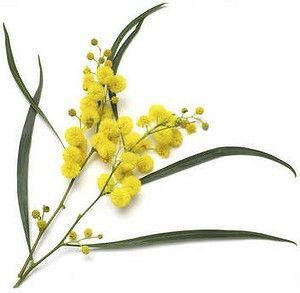 wattle flowers au - Google Search