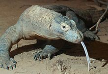 The Komodo dragon is the largest living lizard. The largest verified specimen reached a length of 10.3 feet (3.13 m) and weighed 366 pounds (166 kg). More typical weights for the largest wild dragons are about 154 pounds (70 kg). Although the Komodo can run briefly at speeds up to 13 mph (20 kph), its hunting strategy is based on stealth and power. They can spend hours in one spot, waiting for a deer, boar, goat, or anything sizable and nutritious..
