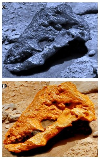 """This is a very interesting example of anomalies that the NASA rover passes by, rather than investigate. In this skull we notice there is upper teeth, and the teeth look the same a horse fossils here on Earth. I have to admit ArtAlienTV has a good..."