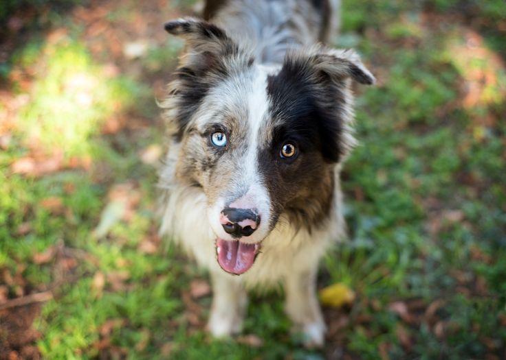Brax - EVM Pet Photography - Yarra Valley Melbourne Blue Merle Border Colie - Dog Photography