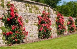 Popínavé růže s tužšími výhony