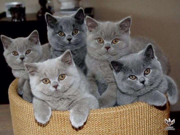 Bleu de russe ( race des chats )