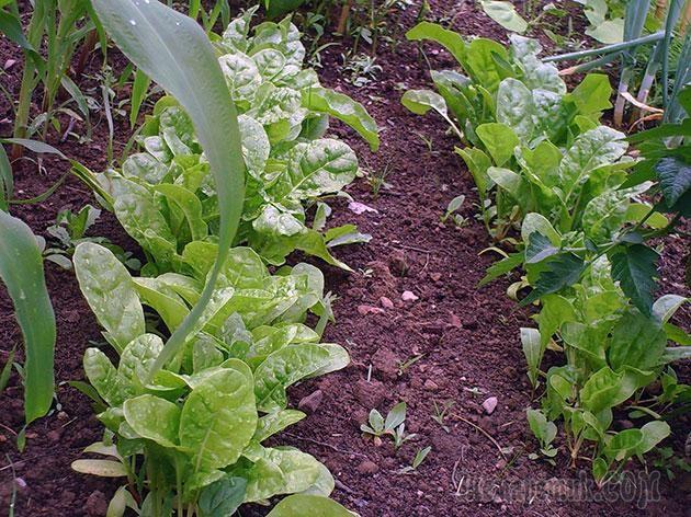 Посадка овощей в апреле в открытый грунт