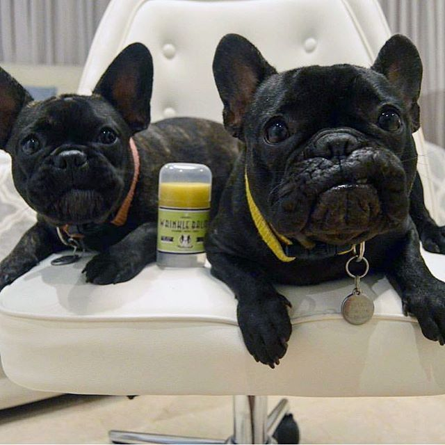 Burger and Olivia, the French Bulldogs agree, Dis is the good-stuff for all the wrinkled babes out there. Award-winning and patented #WrinkleBalm! This organic balm is essential for healing and protecting against skin fold dermatitis, yeast infections and gunky buildup. Gentle enough to use around the face on even the most sensitive pups ;) . >> Right now get 10% off your entire order w/ code FRENCHIEPOST at NaturalDog.com @naturaldogcompany [Photo by: @burger.and.olivia]