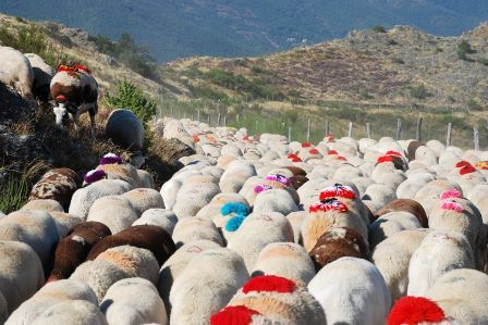 Country life... in France : transhumance en Cévennes