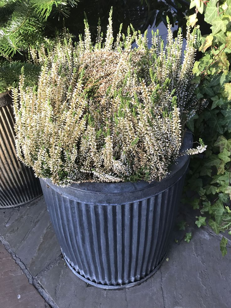 Bicester Village - winter flowering plant displays - heather