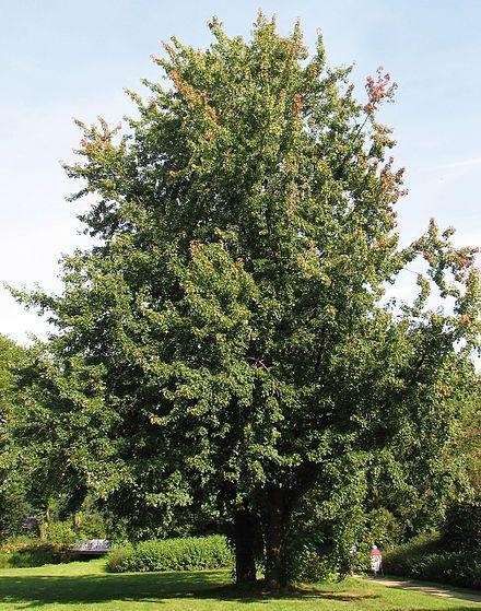 Acer saccharinum - Wikipedia, the free encyclopedia
