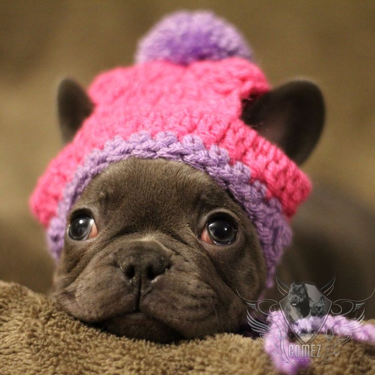 french bulldog hat 17 best fancybull creations images on pinterest chrochet 9514