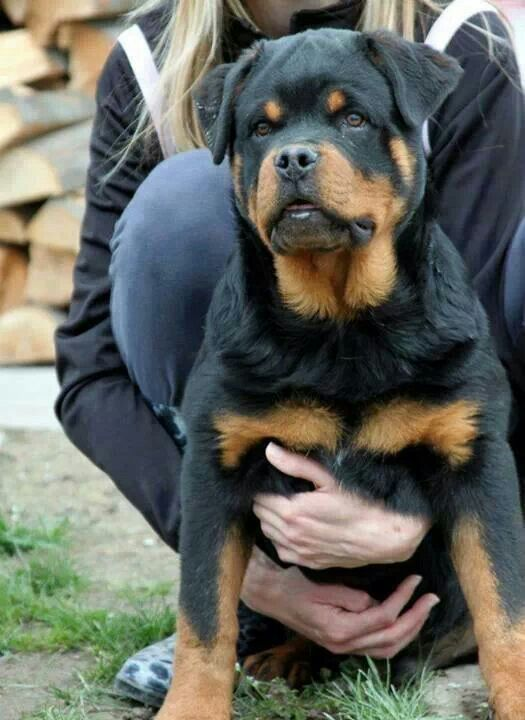 Resultado de imagen para dogs rottweiler embrace humans who are crying