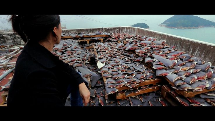 Racing Extinction   Premieres December 2 at 9/8c These are all shark fins :`(