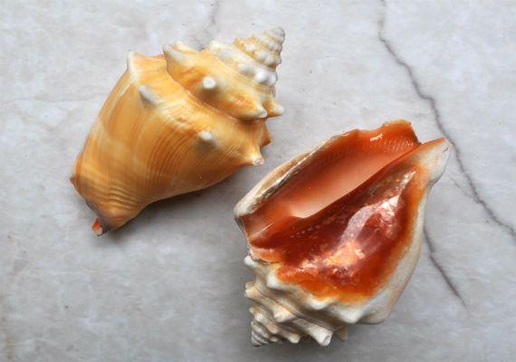 2 Florida Fighting Conch Seashells 2-3  Strombus by seashellmart