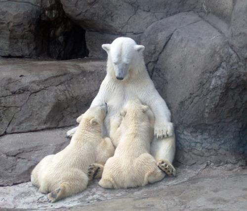 Weight loss inspirationBedtime Stories, Mothers,  Polar Bears, Polarbear, Weights Loss, Baby Bears, Ice Bears, Animal, Loss Inspiration