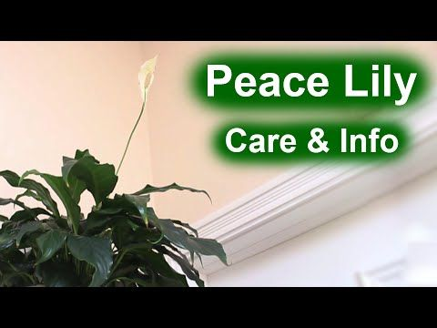 Peace Lily (Spathiphyllum) - Care & Info - YouTube