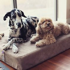 Great Dane | Great Dane Accessories | To get the Great Dane Dog Bed that Mia & Troy are on right now, click http://bigbarker.com