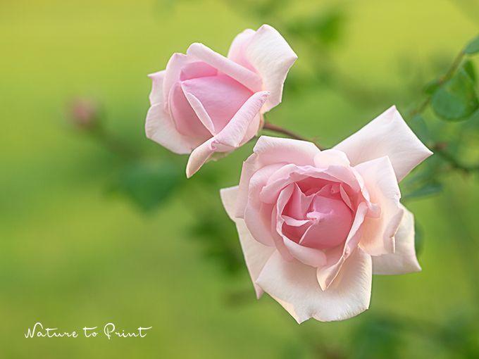 17 besten rosen blumenbilder rosen bilder auf pinterest verlieben blumenbilder und flora. Black Bedroom Furniture Sets. Home Design Ideas