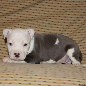 Pitbull Terrier American Puppies For Sale In DE MD NY NJ