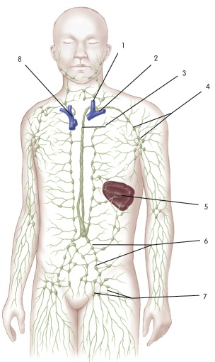 """1= jugular vein  2= subclavian vein  3= thoracic duct (dumping into the """"corner"""" of those 2 veins)"""