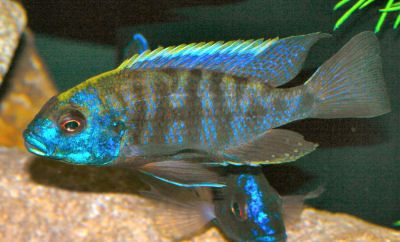 African Butterfly Peacock, Aulonocara jacobfreibergi, Malawi Butterfly Cichlid, Eureka Cichlid