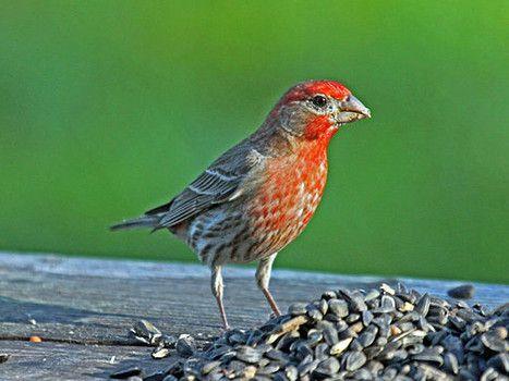 birds of virginia on pinterest virginia home and backyard birds