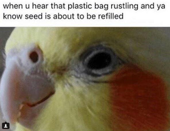 17 Bird Memes That Ll Make You Screm So Loud Animal Jam Memes Bird Meme Cockatiel