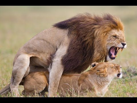 African animals: The Lion Mating, Wild animals