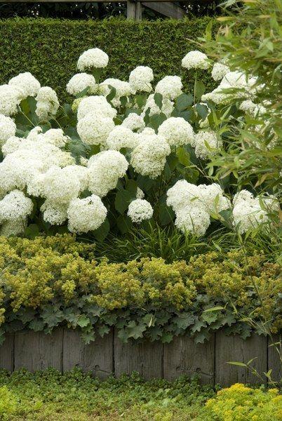 Met hun weelderige bloei passen hortensia's perfect in een romantische tuin. Deze 'Annabelle' is een grote struik met grote, witte, ronde, steriele bloemen en bloeit in de zomerbloei. Snoei tegen het einde van de winter.